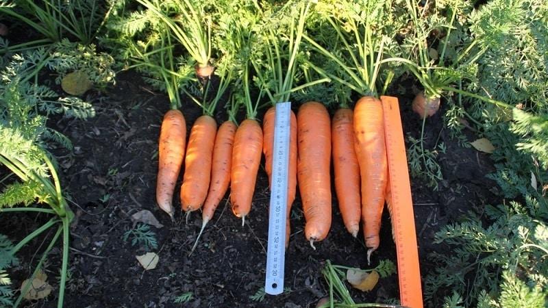 Неприхотливый среднеранний гибрид моркови Ред Кор