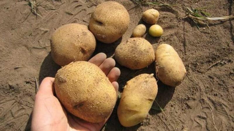 """Один из самых неприхотливых сортов картофеля - """"Лина"""": описание урожайности и советы по выращиванию"""