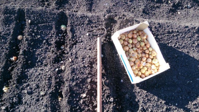 Особенности посадки лука под зиму: после каких культур можно сажать