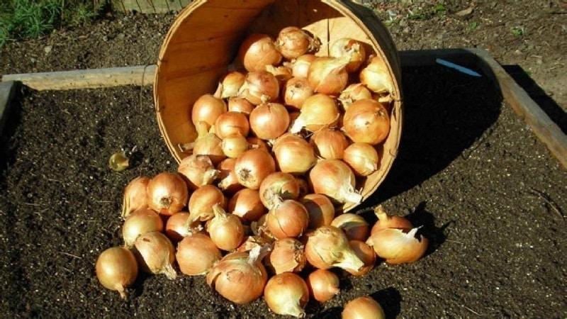Озимые сорта лука-севка для посадки под зиму
