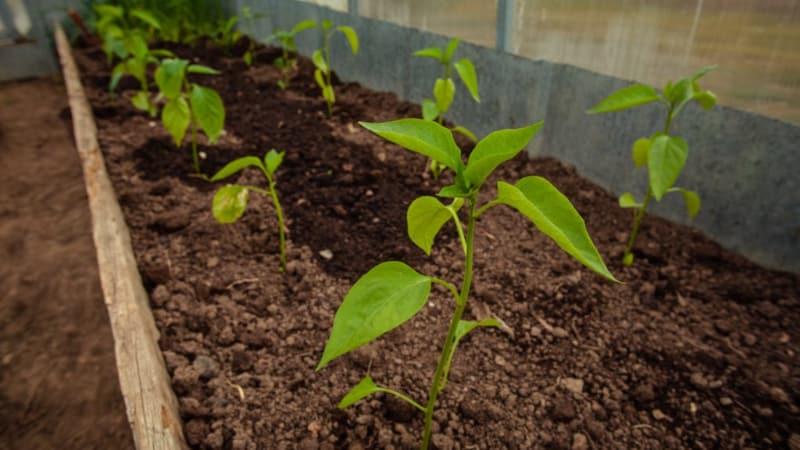 Почему не завязываются перцы в теплице: что делать, чтобы получить богатый урожай