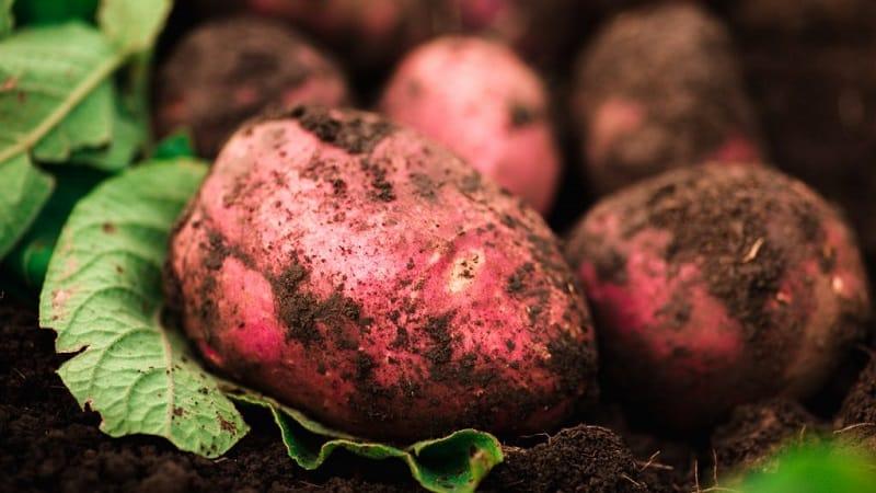 """Почему огородники так любят выращивать картофель """"Вишенка"""": характеристика и описание сорта"""
