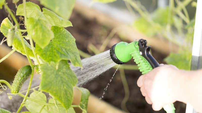 Почему опадают завязи у огурцов и что делать, чтобы спасти свой урожай