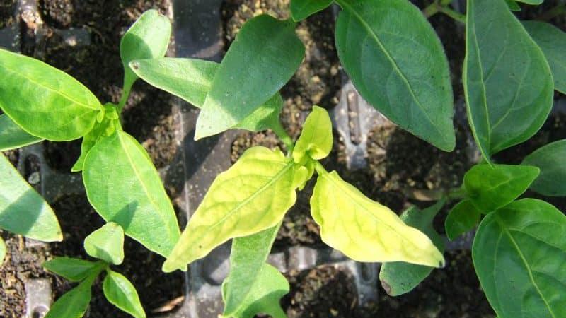 Почему вянут листья у перцев в теплице и что делать, чтобы спасти свой урожай