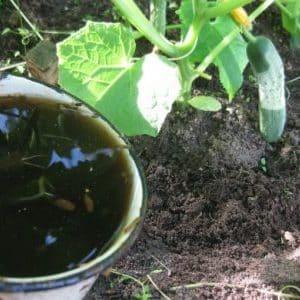Как выполнять подкормку огурцов коровяком: приготовление удобрения и правила его внесения