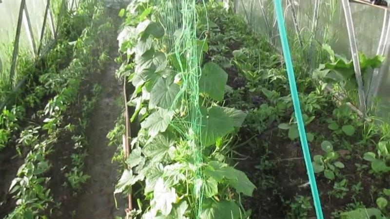 Инструкция как подвязать огурцы в теплице правильно для начинающих огородников