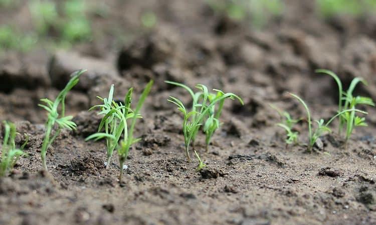 Инструкция по посадке укропа семенами в открытый грунт для начинающих огородников