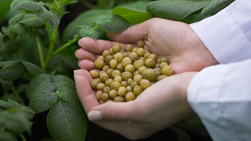 Пошаговая инструкция: как вырастить картофель из семян в домашних условиях