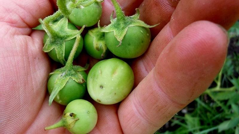 Выращивание картофеля из семян: видео