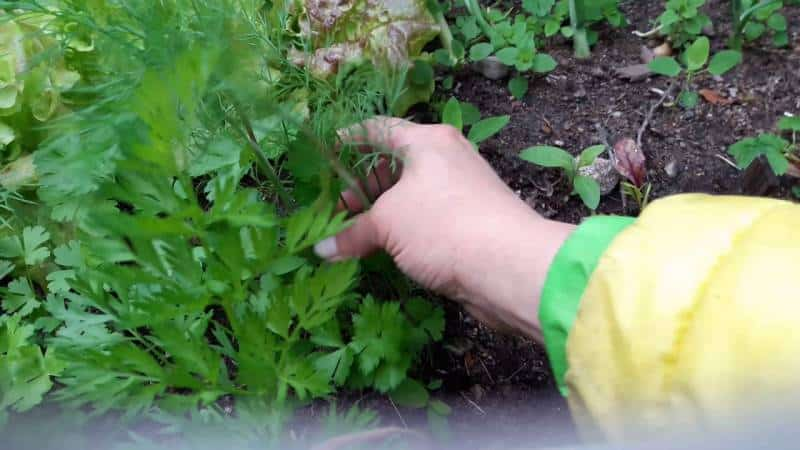 Пошаговая инструкция по посадке укропа в июле на зелень