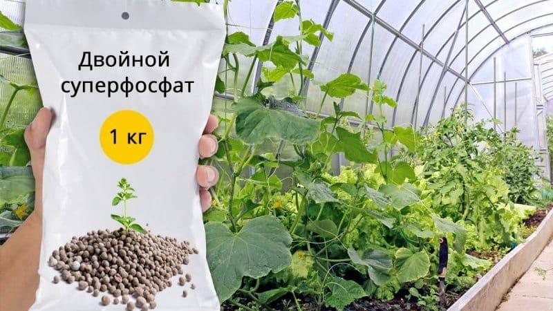 Применение суперфосфата для удобрения огурцов на огороде и в теплице