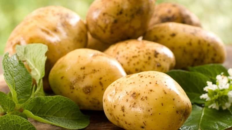 """Проверенный временем старейший сорт картофеля """"Лорх"""""""