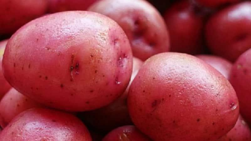 """Раннеспелый сорт картофеля с высокой степенью лежкости """"Ред Соня"""""""