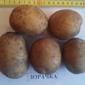 """Раннеспелый сорт картофеля """"Зорачка"""" для употребления в свежем виде"""