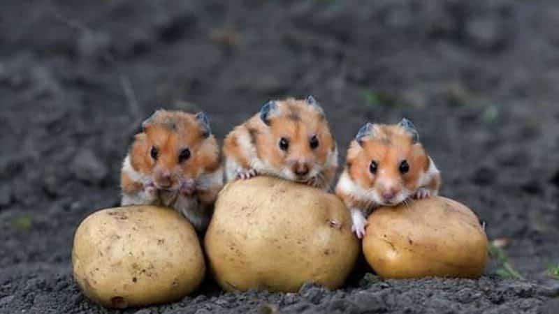 Борьба с картофельными вредителями