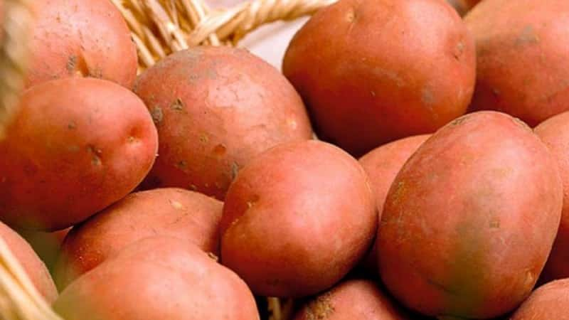 """Сорт картофеля """"Хозяюшка"""" для выращивания в северных регионах"""