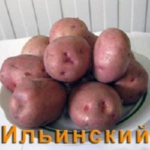 """Сорт картофеля """"Ильинский"""", подходящий для любой почвы и климатических условий"""