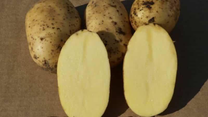 """Раннеспелый столовый сорт картофеля """"Колетте"""", который плодоносит дважды в сезон"""
