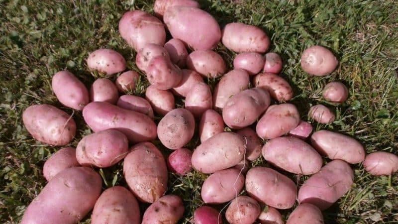"""Высокоурожайный, среднепоздний сорт картофеля """"Манифест"""" с красными клубнями"""