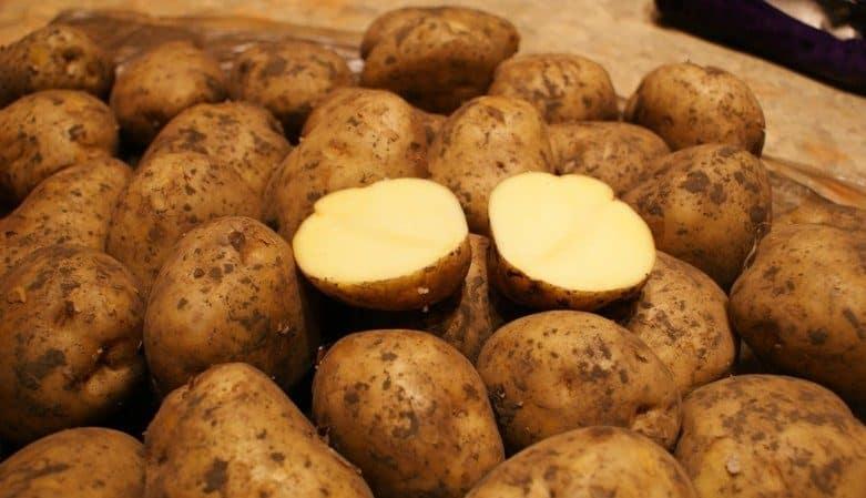 Сорт картофеля Ривьера: растет при любых климатических условиях