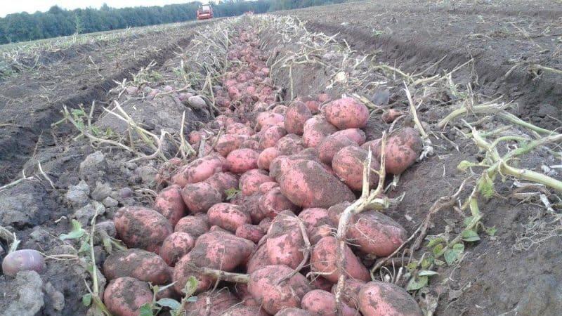 Раннеспелый сорт картофеля Розара для северных областей