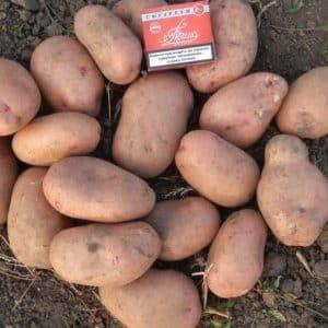 """Среднеспелый сорт картофеля """"Славянка"""" с крупными клубнями"""