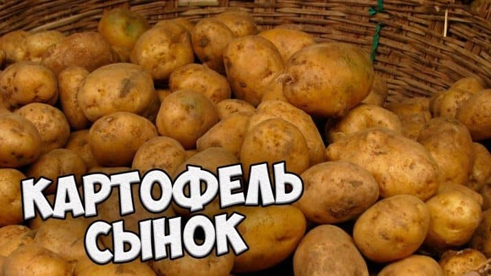 """Высокоурожайный сорт картофеля с отменным вкусом """"Сынок""""(Богатырь)"""