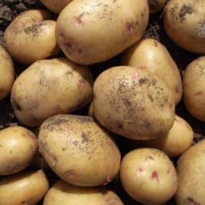 Высокоурожайный сорт картофеля Великан с крупными клубнями