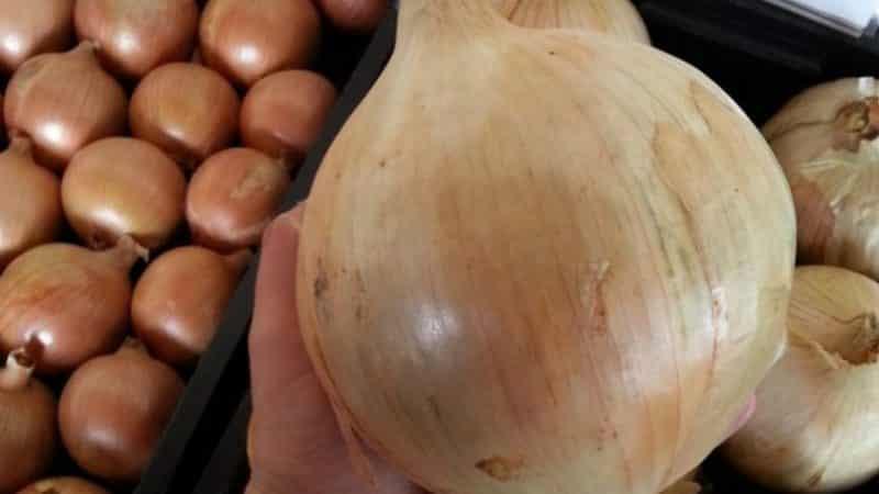 """Крупный среднеспелый сорт репчатого лука """"Глобо"""": отзывы дачников и особенности агротехники"""