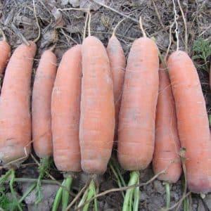 Сладкий сорт моркови Шантане Роял ярко-оранжевого цвета
