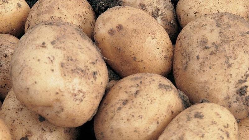 """Среднеранний сорт картофеля с высокой урожайностью """"Санте"""""""