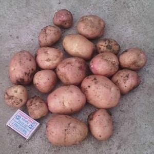 Среднеспелый сорт картофеля Рябинушка с розоватым цветом кожуры