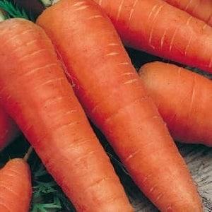 Среднеспелый сорт моркови с высокой урожайностью: Московская зимняя А 515