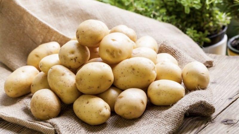 """Столовый сорт картофеля """"Крепыш"""" для умеренного климата"""