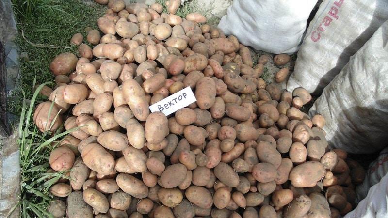 """Стойкий и урожайный сорт столового картофеля """"Вектор"""" от белорусских селекционеров"""