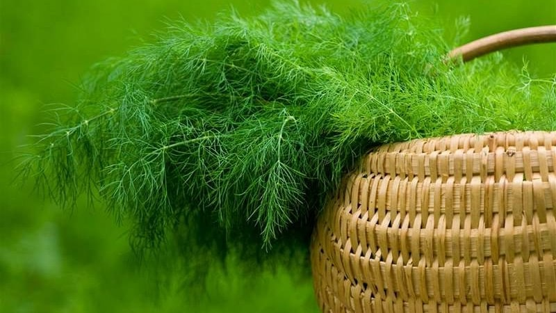 Укроп - это овощ или нет: характеристика и описание растения