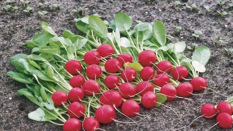 Технология выращивания редиса от А до Я для начинающих огородников
