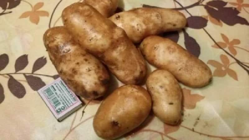 """Высокоурожайный, неприхотливый столовый сорт картофеля """"Инноватор"""""""
