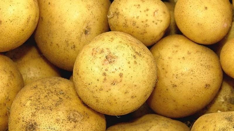 """Высокоурожайный сорт картофеля """"Белый лебедь"""" с крупными клубнями"""