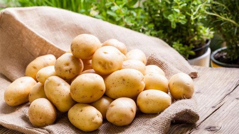 Когда и как правильно собирать семена картофеля из ягод