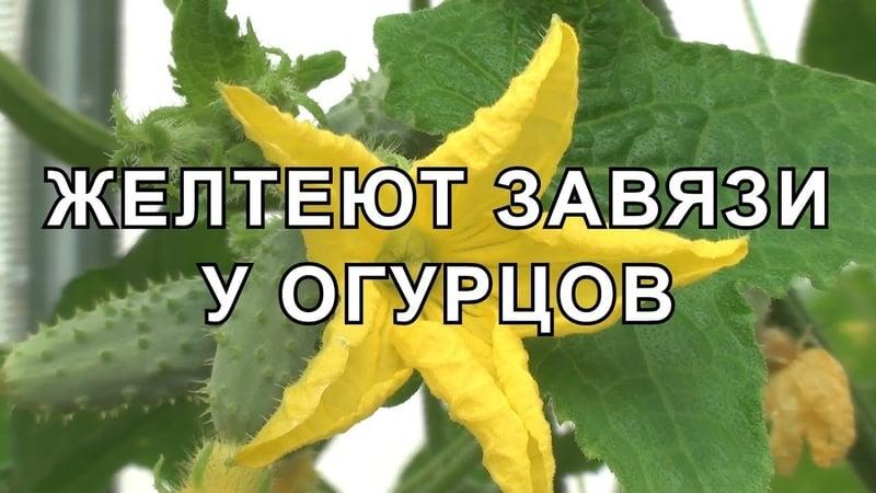 Что делать, если в теплице желтеют завязи огурцов
