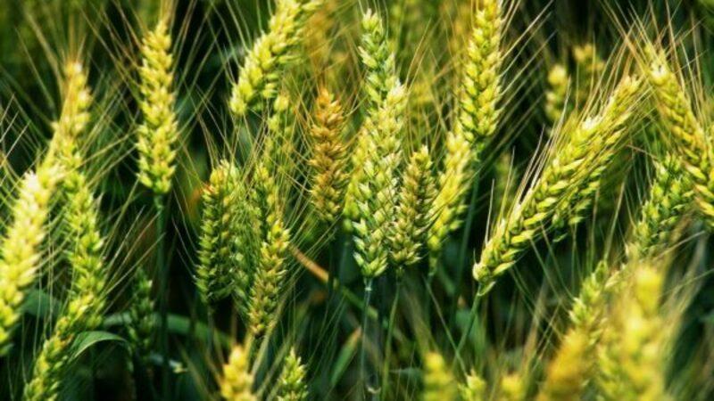 """Обзор озимого сорта пшеницы """"Юка"""""""