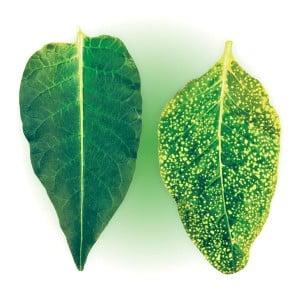 Какие бывают болезни у сладкого перца: методы борьбы с ними и фото листьев