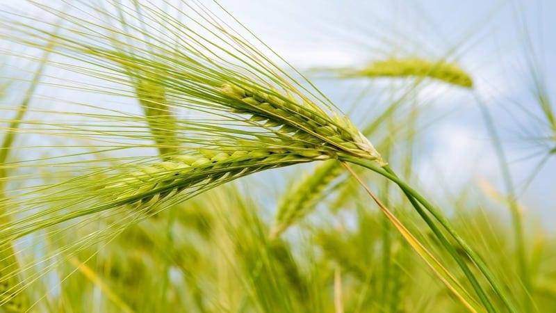 """Чем хорош сорт пшеницы """"Гром"""" и каковы его особенности"""