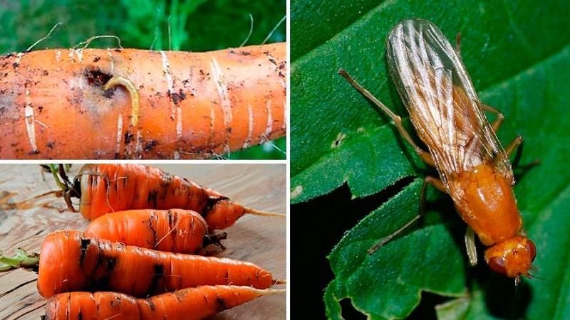 Как бороться с болезнями и вредителями моркови