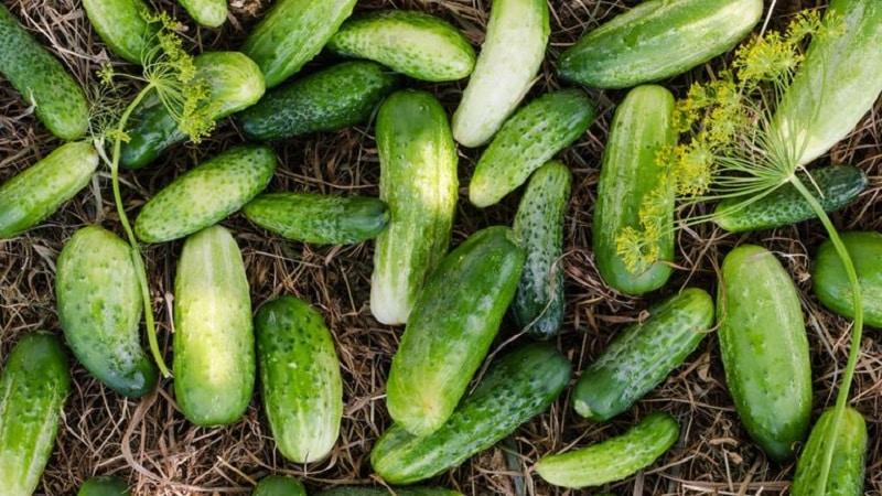 Лучшие сорта огурцов для выращивания в Сибири в теплице и открытом грунте