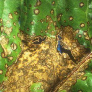 Болезни и вредители петрушки: фото, методы борьбы и профилактики