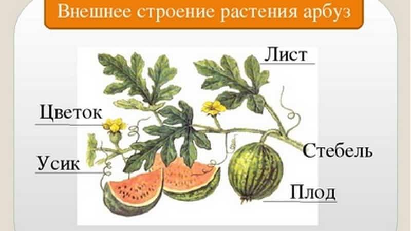 Арбуз и дыня - это ягоды или нет, и почему