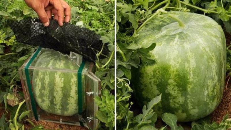 Бывают ли квадратные арбузы и как можно самому вырастить такой необычный урожай