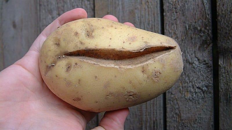 Что делать, если картошка уродилась уродливой и корявой, и почему так произошло
